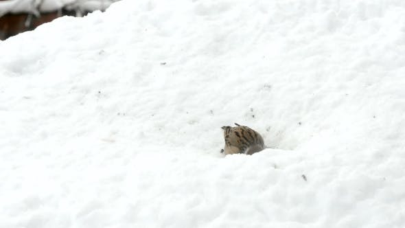 Thumbnail for Sparrows Eating Seeds In Snowy Winter