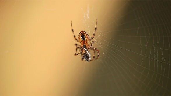 Thumbnail for Spider