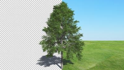 Tree  Black Gum