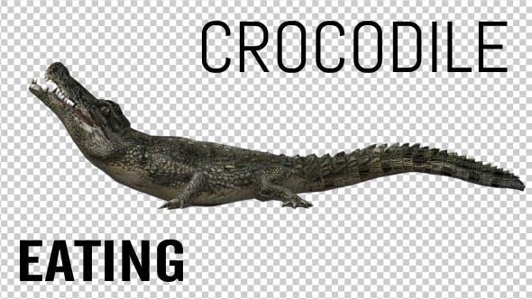 Thumbnail for Crocodile - Alligator Eating