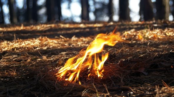 Cover Image for Fire in a Pine Forest