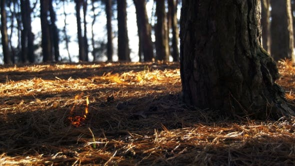 Thumbnail for Fire in a Pine Forest