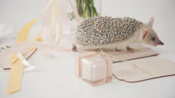 Thumbnail for Hedgehog on Table Walks Among Decoration for Wedding Day