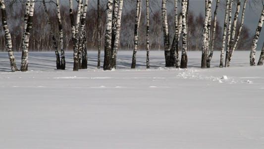Thumbnail for Trunks Of Birch Trees