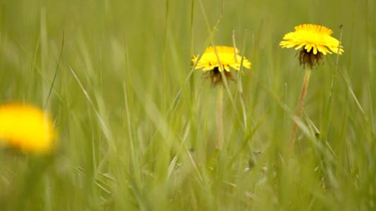 Cover Image for Yellow Dandelions In Green Grass