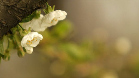 Cover Image for Apple Blossom Flowers