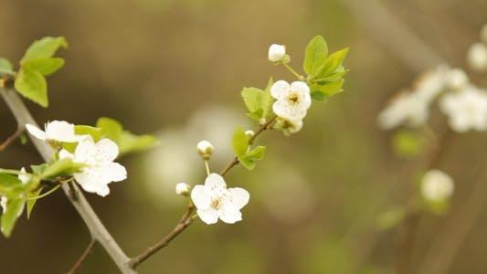 Thumbnail for Apple Blossom Flowers
