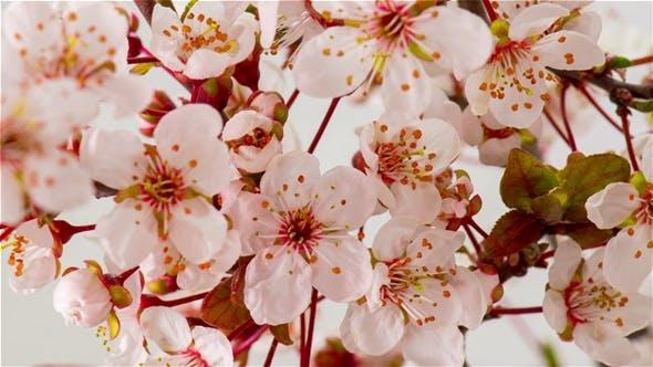 Thumbnail for White Cherry Tree Flowers.