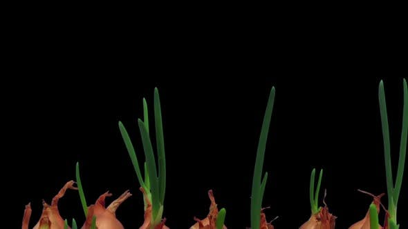 Thumbnail for Time-lapse of growing onions