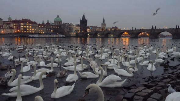 Thumbnail for Lot of Swans and Ducks in the River Vltava