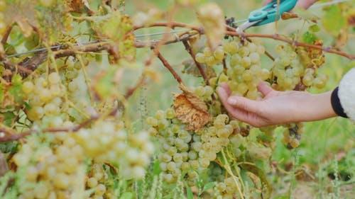 Generous Harvest in the Vineyard. Hands with Scissors