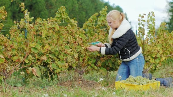 Thumbnail for Young Woman Gathers the Grape Harvest, the Grapes Carefully Cuts with Scissors