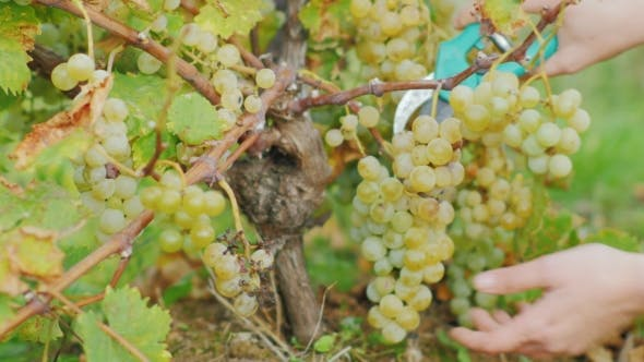 Thumbnail for Hands with Scissors Cut Large Bunches of Juicy Ripe Grapes