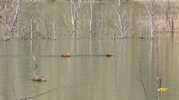 Thumbnail for Ruddy Shelduck Ducks and Cubs