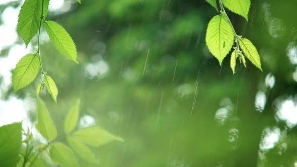 Thumbnail for Green Leaves in Rainy Weather
