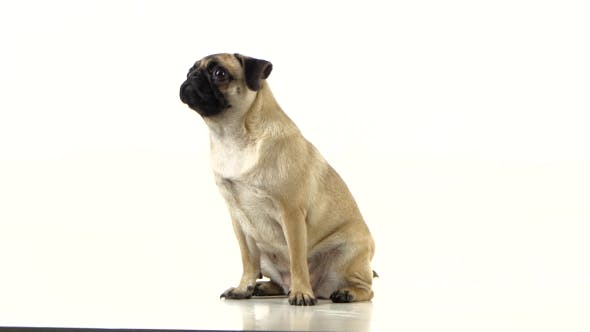 Thumbnail for Pug Sitting and Begging for Food and Licked. White Background