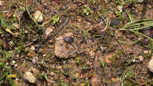 Tick Beetle of Crimean Congo Hemorrhagic Fever
