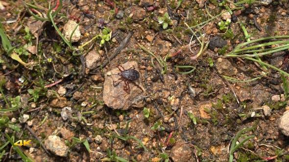 Thumbnail for Tick Beetle of Crimean Congo Hemorrhagic Fever