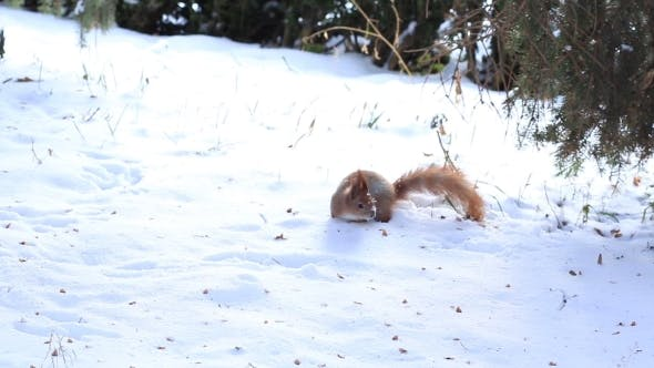 Thumbnail for Little Squirrel Running on Snow in Winter Forest