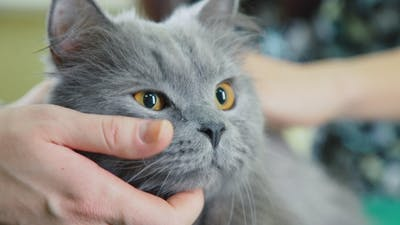 Cheeks and Cat's Whiskers. Beautiful Smoky Purebred Cat