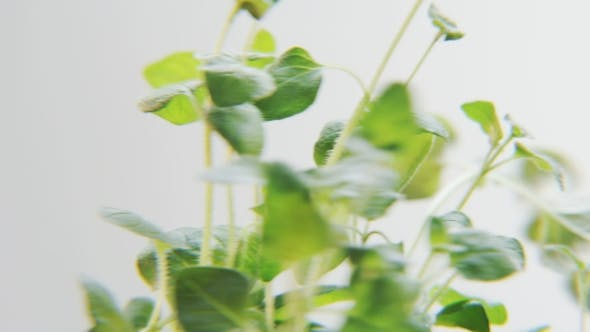 Thumbnail for Basil Rotating on a White Background