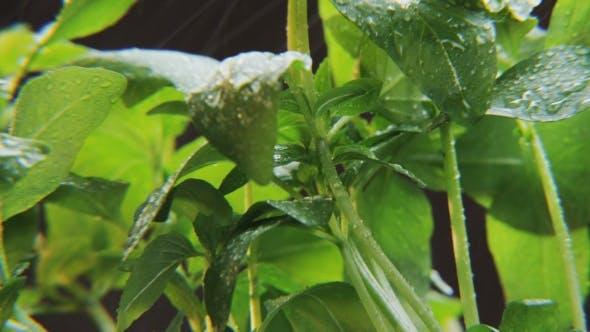 Thumbnail for Basil in Heavy Rain on Black Background