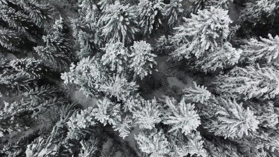 Thumbnail for Winter Pine Forest in the Mountains in Snow. Aerial View