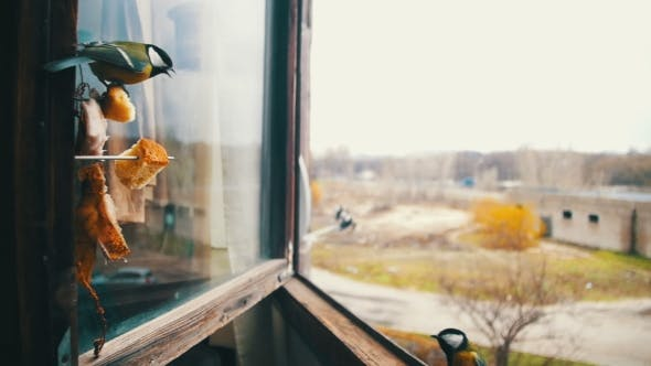 Cover Image for Bird Titmouse Eats Bread and Lard on a Wooden Window Sill