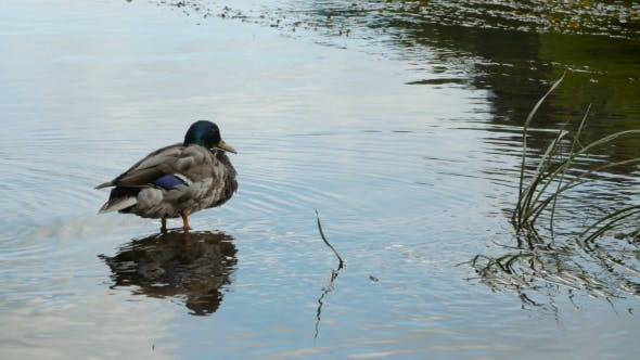 Thumbnail for Male Duck Sits in Water