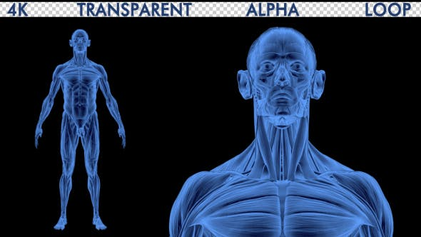 Thumbnail for 4K Male Body Anatomy