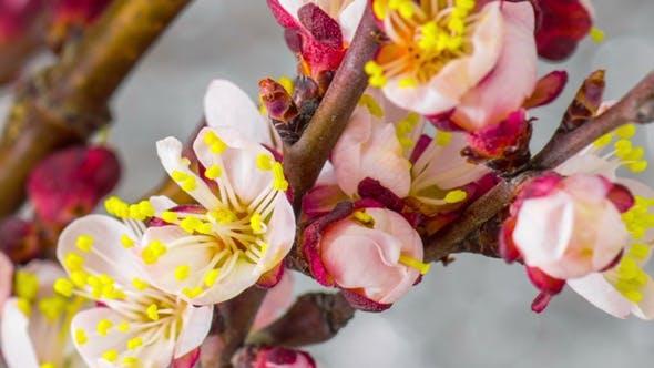 Thumbnail for White Cherry Tree Flowers
