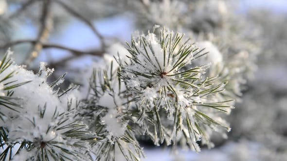 Thumbnail for Sprig of Pine Trees Covered with Snow and Frost
