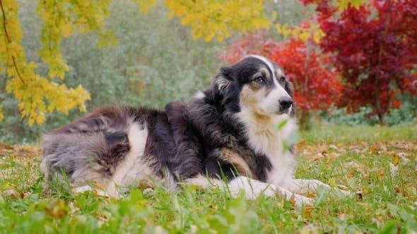 Thumbnail for Most Adult Shepherd Is in Autumn Garden