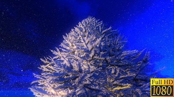 Illuminated Winter Fir