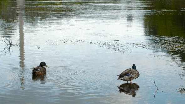 Thumbnail for Two Wild Ducks Swimming in the River