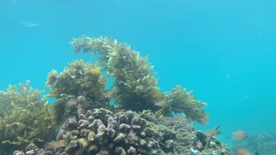 View Underwater on Corals with Swaying Seaweeds and Fishes Swimming Around.