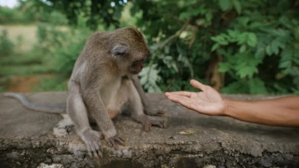 Thumbnail for The Emerging Friendship Between a Man Who Gives His Tanned Arm To the Monkey. Monkey Sitting on a