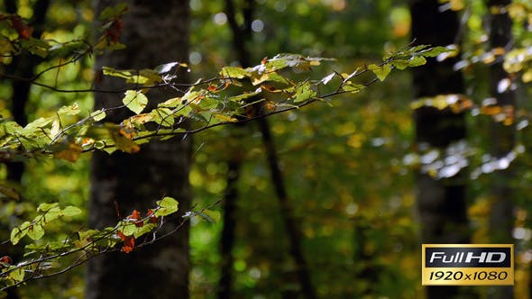 Thumbnail for Beech Forest Branches with Leaves in Early Fall