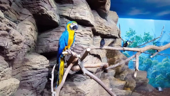 Thumbnail for Blue-and-yellow Macaw Sitting on Branch