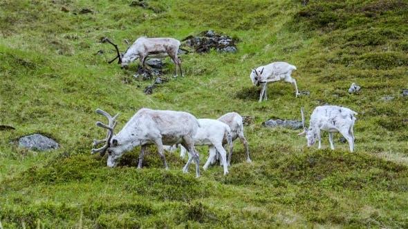 Thumbnail for Reindeer
