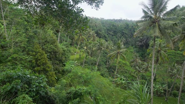 Thumbnail for Densely Overgrown Green Jungle. Lots of Tall Palm Trees in a Tropical Forest. Incredibly Beautiful