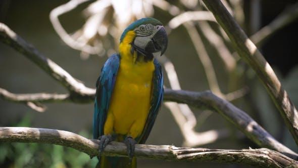 Thumbnail for de Perroquet indien lumineux avec corps jaune et ailes bleues assis sur la perche. Grande queue longue
