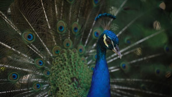 Thumbnail for of Wonderful Peacock with His Bright Plumage, Neck and Train. Image of Wild Indian Peacock