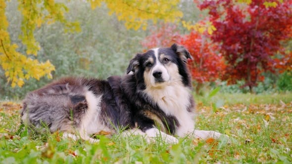 Thumbnail for Reinrassige australische Schäferhund auf dem Gras liegend. Vor dem Hintergrund der Herbstbäume