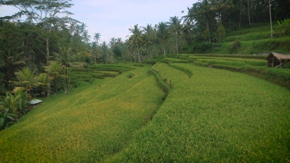 Thumbnail for Green Plantation Rice Field View with Small Wooden Houses