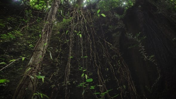 Thumbnail for The Review of Suspended Lianas in the Jungle of the Island of Bali. Lianas Hanging From the Tree