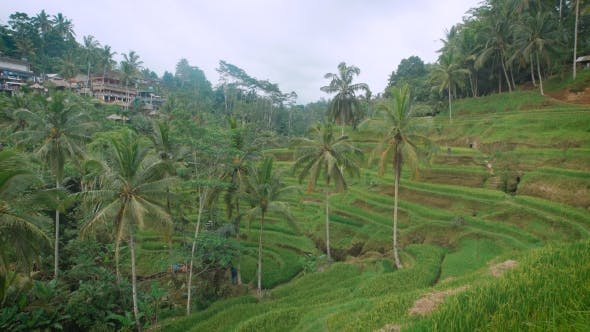 Thumbnail for The Review of Rice Terraces on the Island of Bali. It Is Possible To Wander Among Rice Terraces
