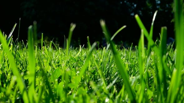 Thumbnail for Green Grass on Trimmed Lawn. Natural Summer Background. Bottom View. View From Ground