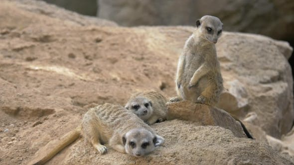 Thumbnail for Three Meerkats with One Being on the Alert