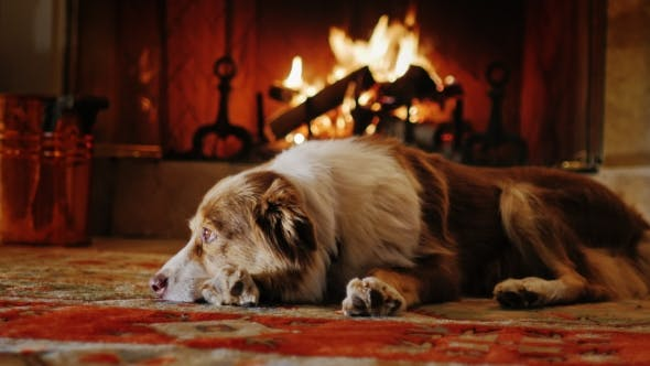 Thumbnail for Australian Shepherd Lying in a Cozy House Near the Fireplace